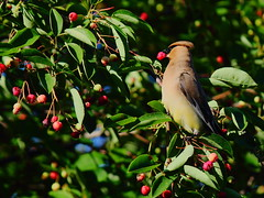 Cedar Waxwing Brunch - Explored photo by Jemsabell