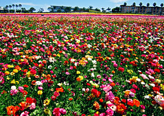 Colorful Flower Fields of Carlsbad photo by TheJudge310