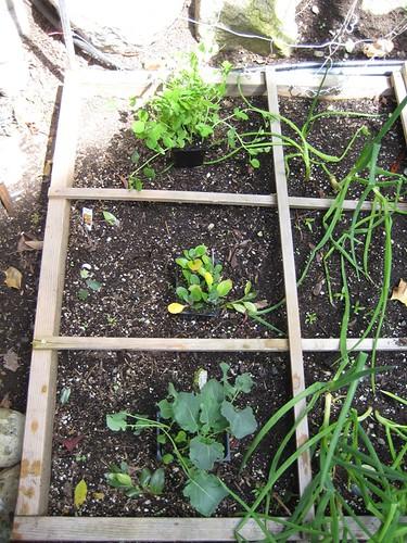 Spring Lettuce_1