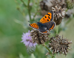 Small Copper butterfly - Lycaena phlaeas photo by Linz27