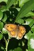 papillon Amaryllis mâle