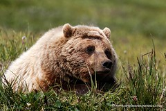 Taking a rest - Grizzly - Denali National Park - Alaska photo by My Planet Experience