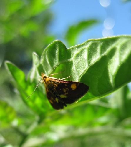 papillon pyrausta purpuralis