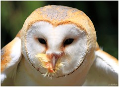 BARN OWL (EXPLORED) photo by car 67