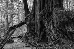 Magic Cedar Tree photo by Jonathan Sureau