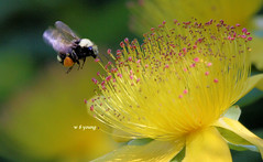 7D100_1276-16wby A tender kiss - bee on stamen photo by wbyoungphotos