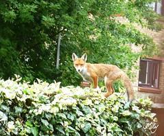 Mandarina on the garden fence !!! : ) photo by Milagritos9