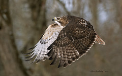 RED-TAILED HAWK -01 photo by AIR BUS