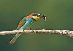 2013 Bee-eaters photo by renzodionigi