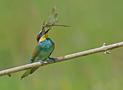 European Bee-eater: Merops apiaster photo by renzodionigi