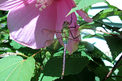 Green Dragonfly on Pink Hibiscus 13 photo by Elise Creations & Passions
