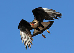 Crested Caracara photo by Muriel N.