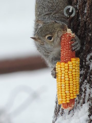 Our Little Corn Thief (Explore) photo by rabidscottsman