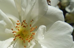 White Rose (Explore) photo by possumgirl2