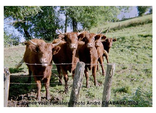 Jeunes vaches Salers (Cantal)