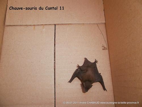 Chauve-souris du Cantal 11