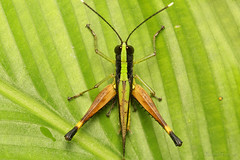 Gafanhoto (Orthoptera) photo by Bruno Garcia Alvares