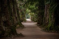 Aleia das Mangueiras  -  Jardim Botânico do Rio de Janeiro photo by Marcus Vinicius Lameiras