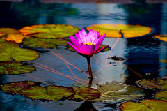 Water Lily (Explored) photo by Butch Osborne