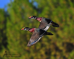 Wood Ducks photo by mtetcher