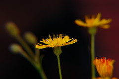 gelb / yellow - Thanks for explore! 2013/07/29 photo by DaLi-A