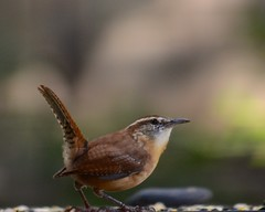 Carolina Wren photo by steven_and_haley_bach