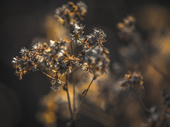 Snowballs in Fall II photo by Drachenfanger