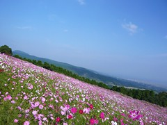 a cosmos field #3 photo by Kanko*