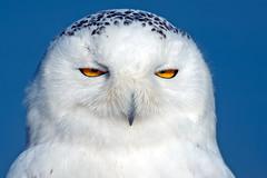 Snowy Owl photo by Brian E Kushner