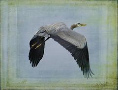 D800 Textured Heron 2684 photo by Del Hoffman-Thx 4.34 Million Views