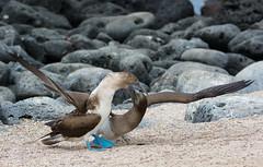 Mother Blue-footed Booby feeding her baby on San Cristóbal Island - Galapagos - Ecuador photo by Ferdi's - World