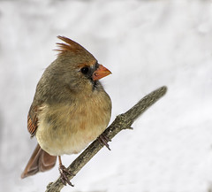 Female Northern Cardinal_DSC3435 photoshop NIK edit photo by nkatesphotography