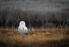 Snowy Owl photo by PhotoJoe Campbell