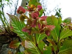 H. macrophylla 'Shamrock' hiver