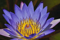 Waterlily photo by seeit_snapit