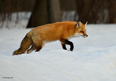 Renard roux / Red Fox photo by anjoudiscus