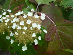 H. quercifolia