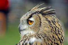 European Eagle Owl photo by TonyKRO
