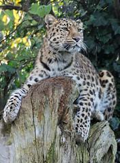 Amur Leopard photo by Buggers1962