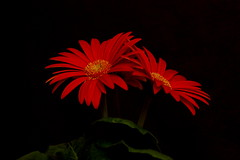 Gerbera Daisy Flower photo by Always Shooting