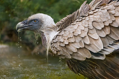 Dropping vulture photo by Tambako the Jaguar