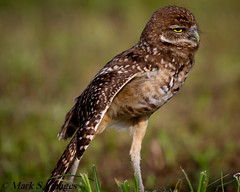 Burrowing Owl photo by Mark S. Images