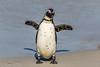 294 - Afrique du Sud - Octobre 2016 - Boulders Beach - 380A7319