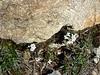 Saxifrage casse-pierre Saxifraga granulata