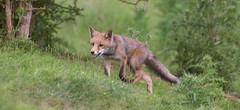 Foraging Fox photo by Dan Belton ( No Badger Cull )