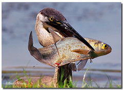 Great Blue Heron photo by Betty Vlasiu