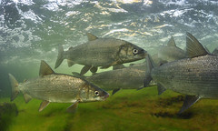 Whitefish Migration photo by Fish as art