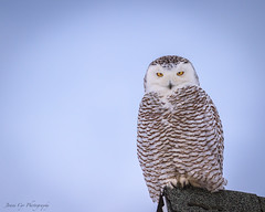 Immature Snowy Owl--EXPLORED! photo by just joani
