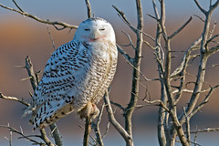 Snowy Owl photo by Brian E Kushner
