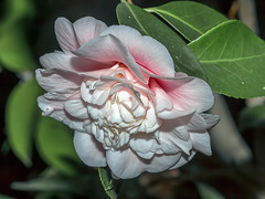 Camellia at Night photo by charles25001
